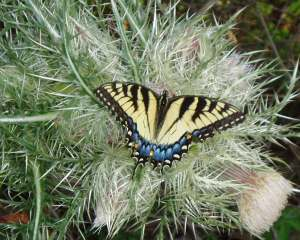 Tiger Swallowtail Image provided with permission of Stephanie Sorensen